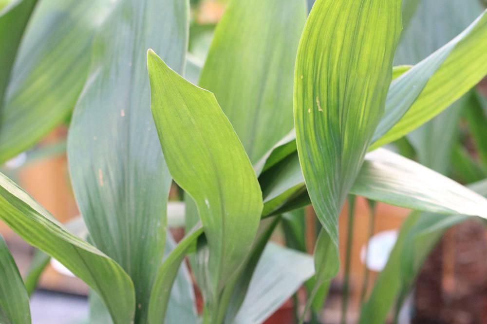 Schusterpalme ist eine recht pflegeleichte Pflanze