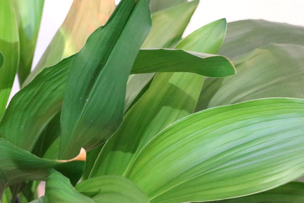 Aspidistra besitzt dunkelgrüne, glänzende Blätter