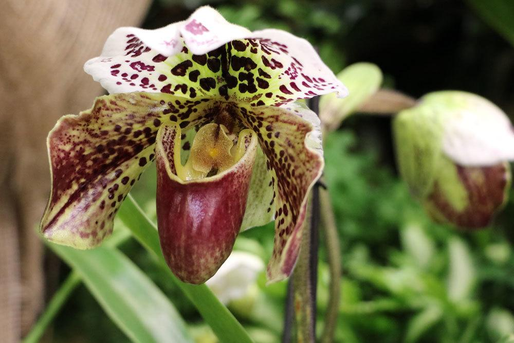 Orchidee, Cypripedium, Frauenschuh