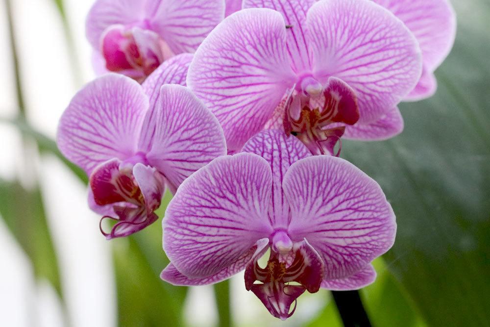 Orchideen enthalten toxische Stoffe