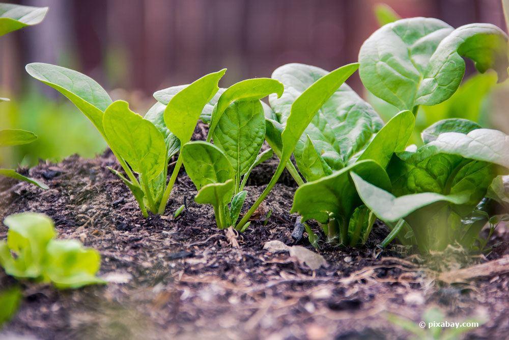 Spinat bevorzugt einen sonnigen Standort