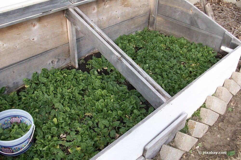 Spinat selbst im Garten anbauen