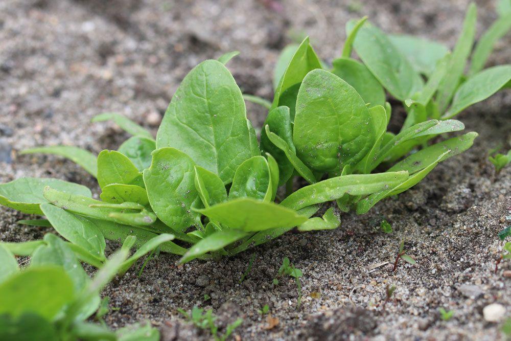 Spinat anbauen und ernten