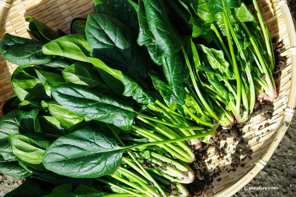 Spinat aus eigenem Anbau ernten