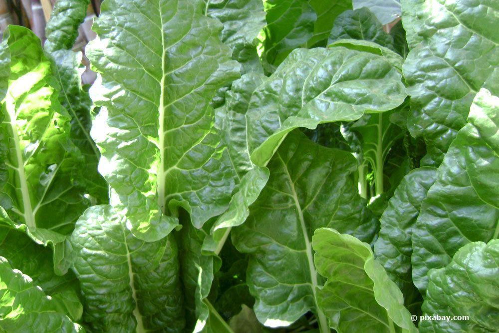 Spinat im Gartenbeet kultivieren