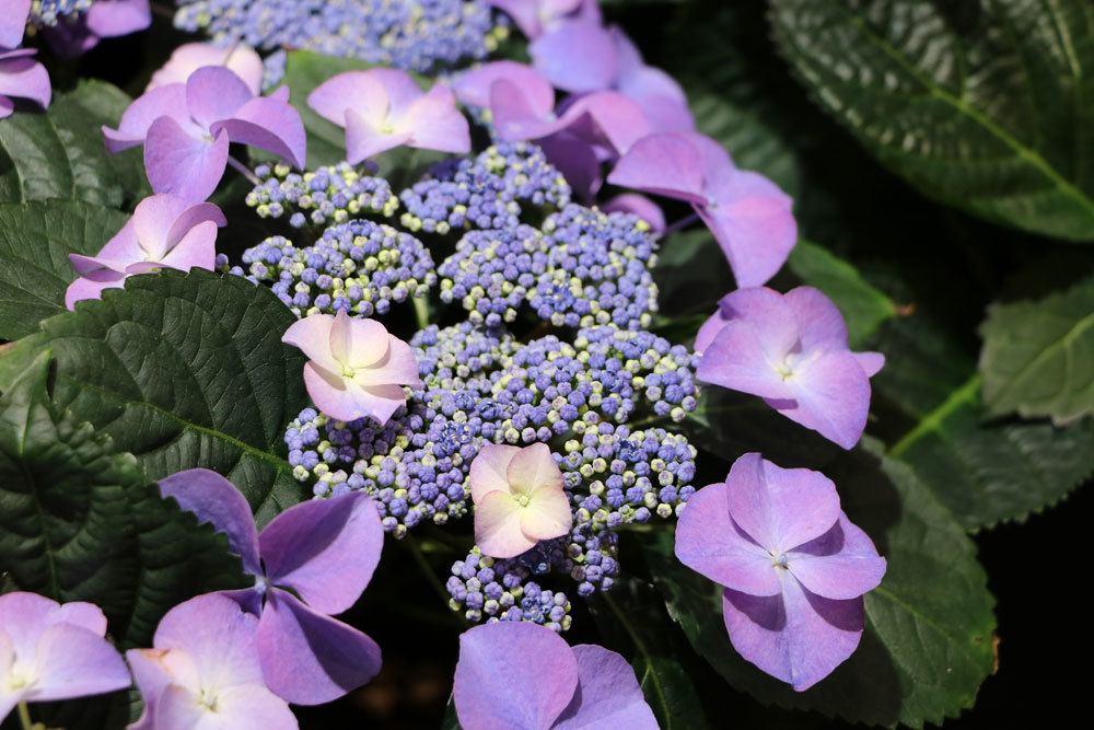 Tellerhortensie mit lila Blütenfärbung