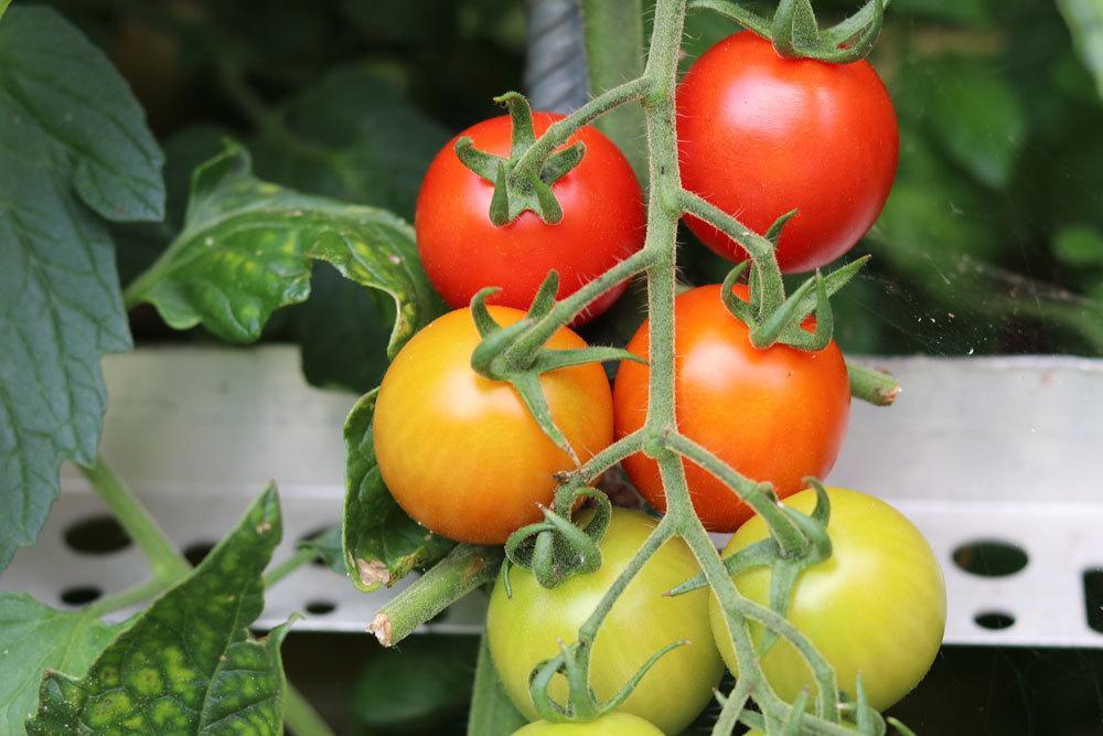 Tomaten enthalten viele Nährstoffe und Vitamine