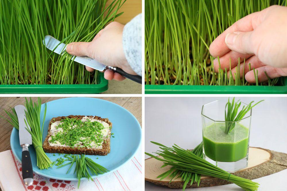 Weizengras ernten und auf verschiedene Arten zubereiten