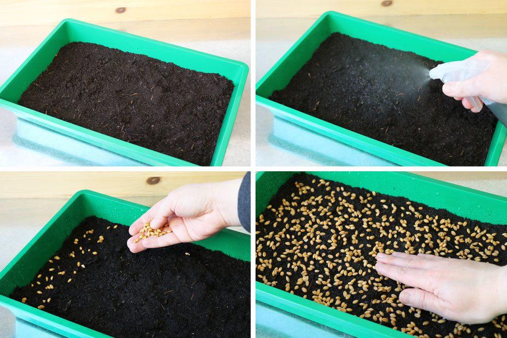 Weizengras in Schale mit Substrat aussäen