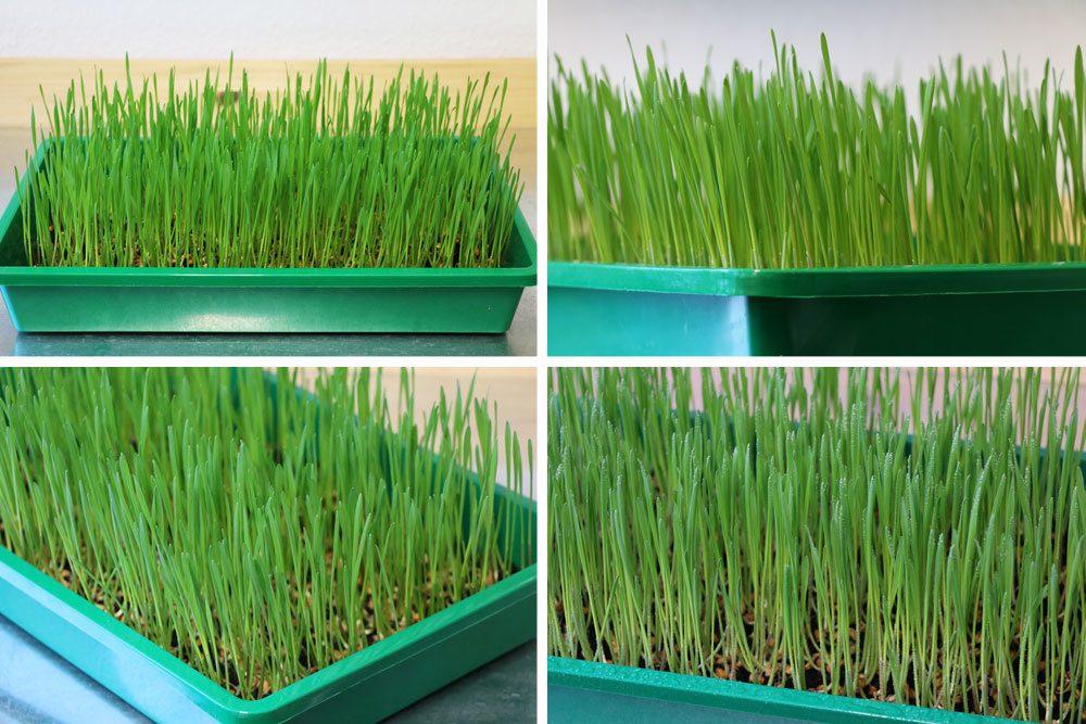 Weizengras wächst schnell und sichtbar von Tag zu Tag