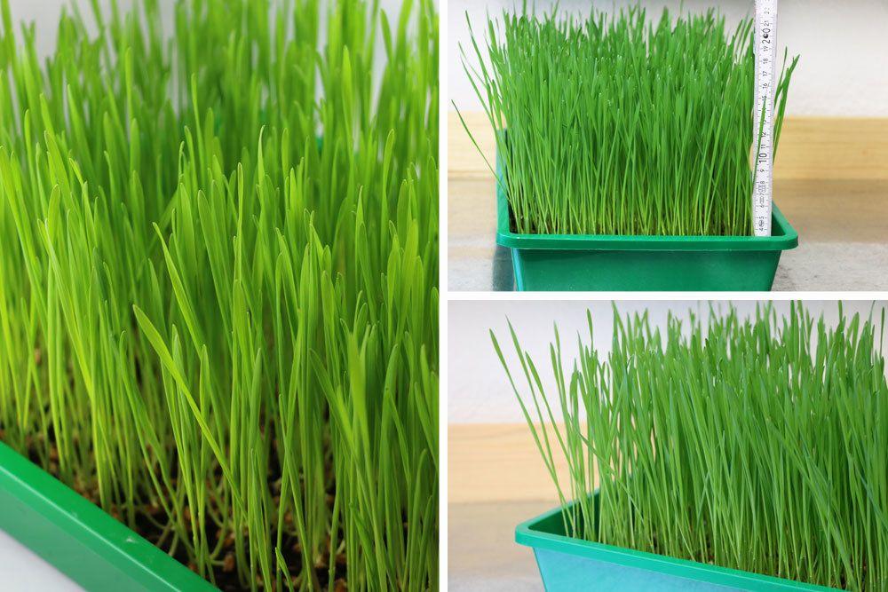 Weizengras wächst mit dem richtigen Substrat sehr schnell