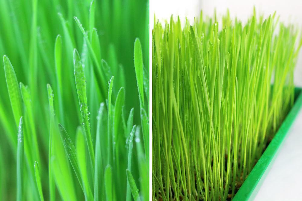saftig grünes Weizengras an Tag 9