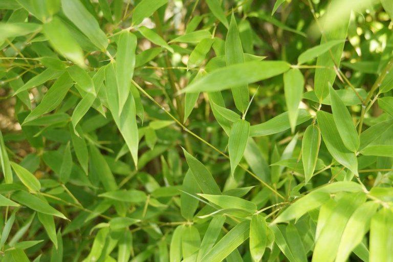 Bambus Fargusia muriclae