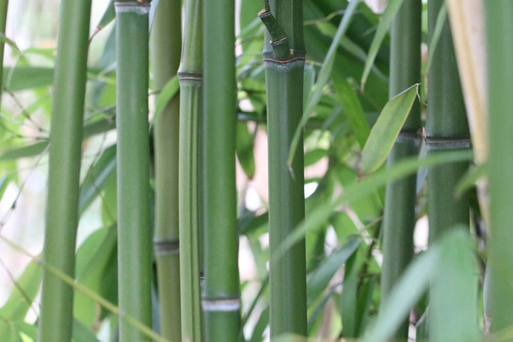 Wie Schnell Wachst Bambus Wie Gross Wird Er 8 Schnelle Antworten
