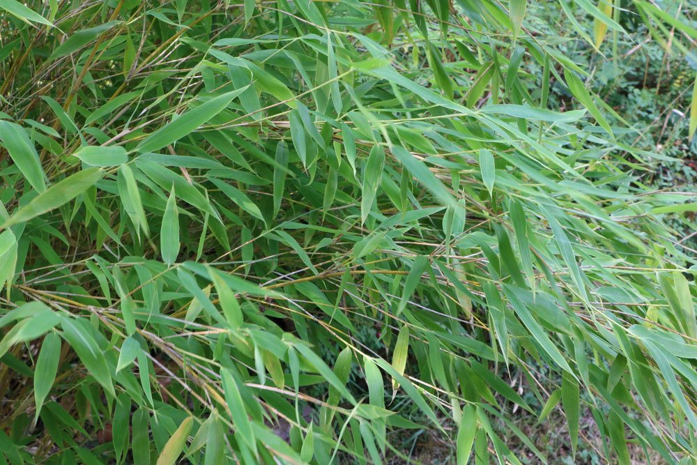 Fargesia murielae, Schirmbambus, Muriel-Bambus