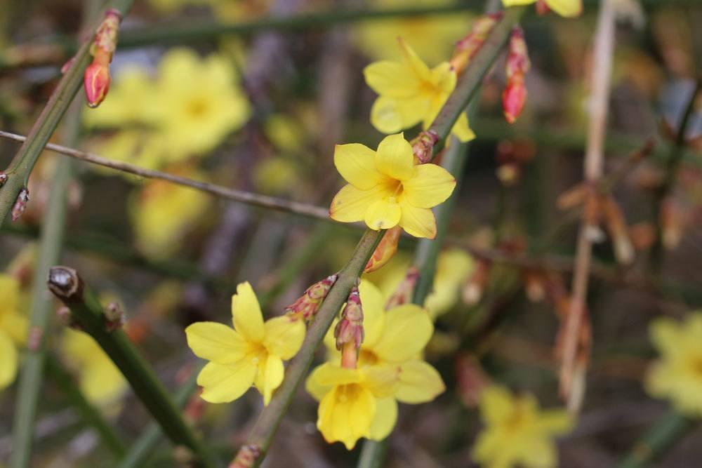 Winter-Jasmin mit leuchtend gelben Blüten