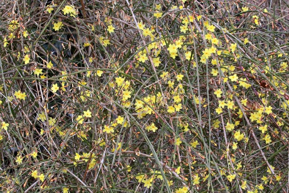 Jasminum nudiflorum braucht einen sonnigen Standort