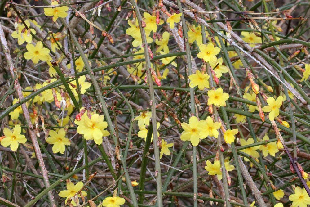 Winter-Jasmin, Jasminum nudiflorum richtig pflegen