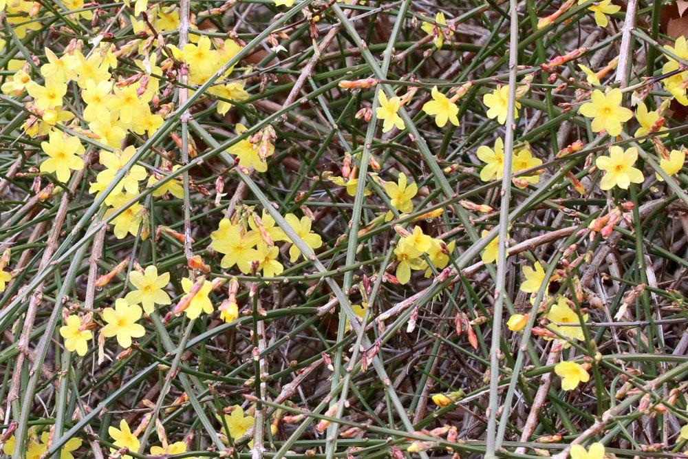 Jasminum nudiflorum kann auch als Kübelpflanze kultiviert werden