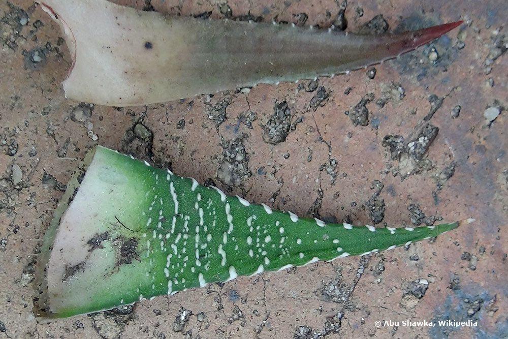 Blätter einer Zebra-Haworthie