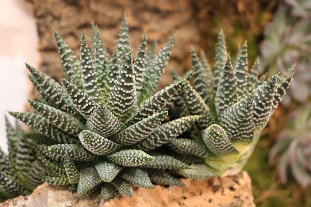 Haworthia fasciata stammt aus Südafrika
