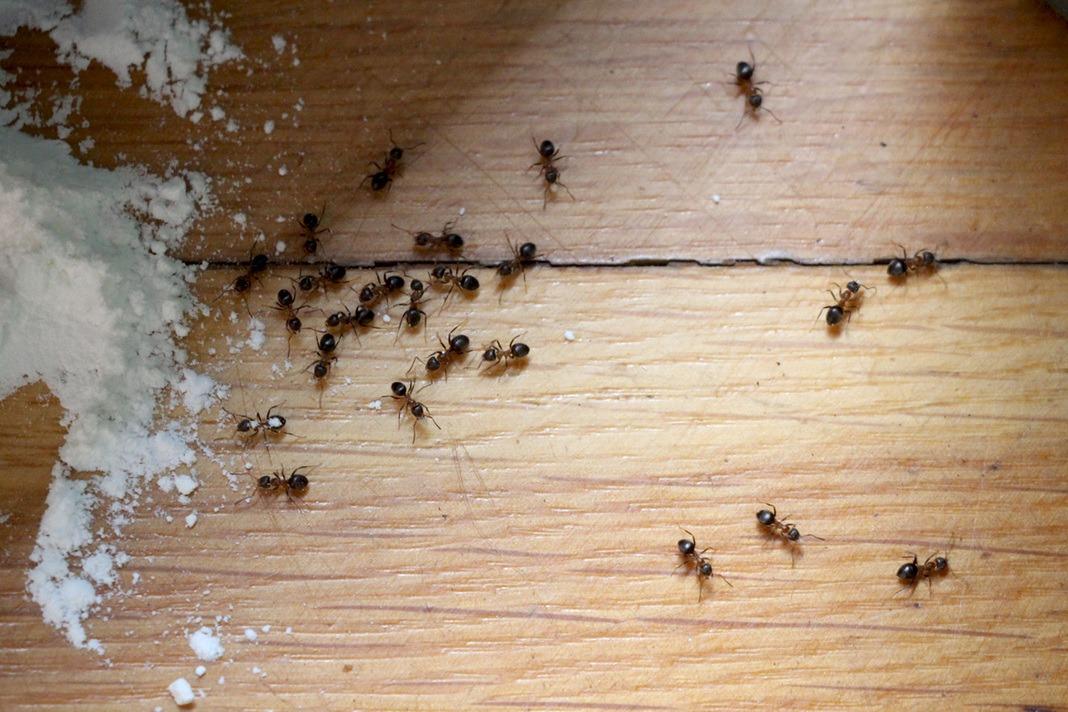 Ameisen bekämpfen