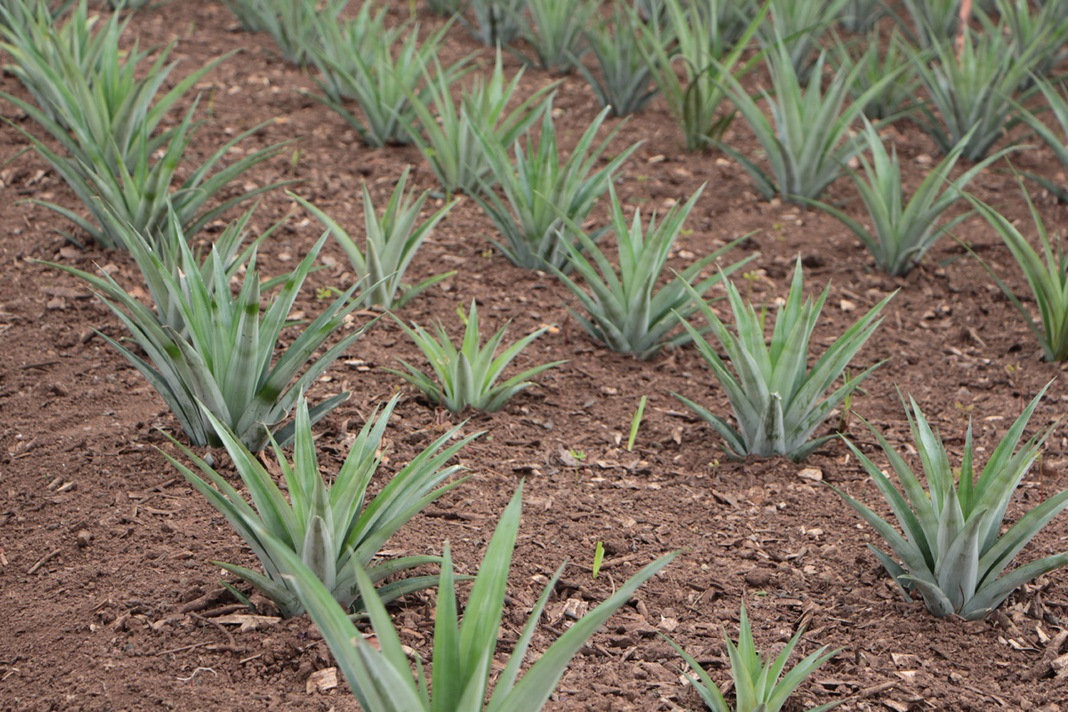 Ananas-Pflanzen