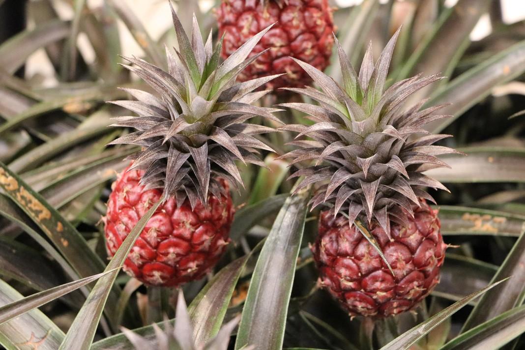 Ananas-Pflanze pflegen