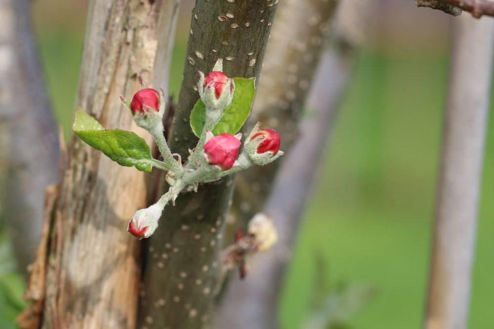 Blütenknospen am Apfelbaum