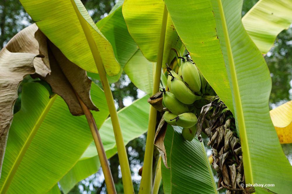 Bananenpflanze im Garten oder Wohnraum kultivieren