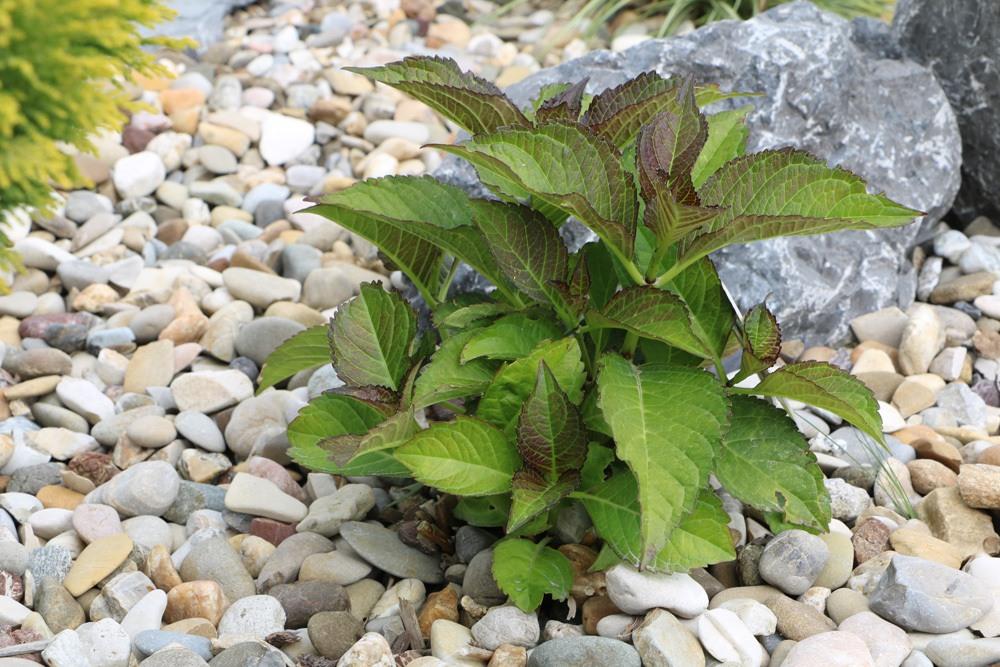 Bauernhortensie - Hydrangea macrophylla