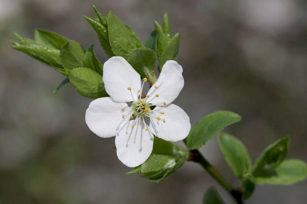 Kirsche, Prunus, weiße Blüten