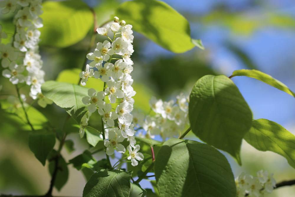 Blühende Bäume: diese 30 Gehölze nach Farben und Blütezeit sortiert