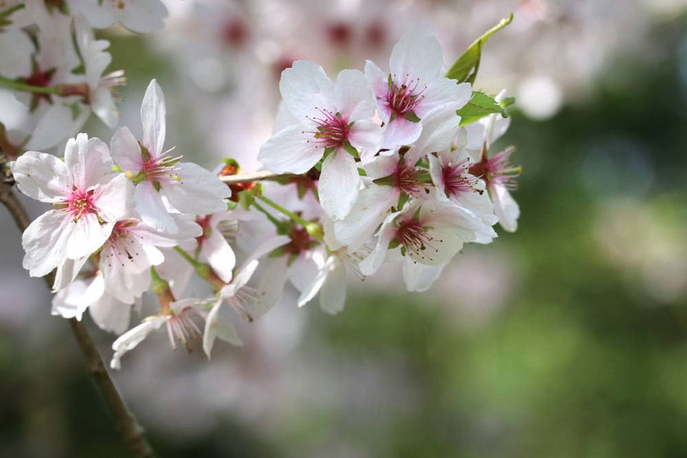 Winterkirsche, Prunus subhirtella