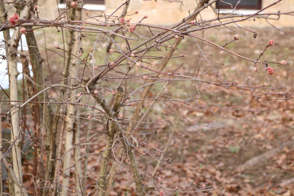 Winterschneeball, Viburnum bodnantense