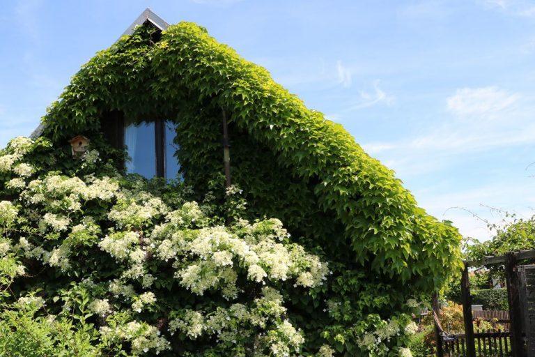Blühende Kletterpflanzen, verschiedene Arten