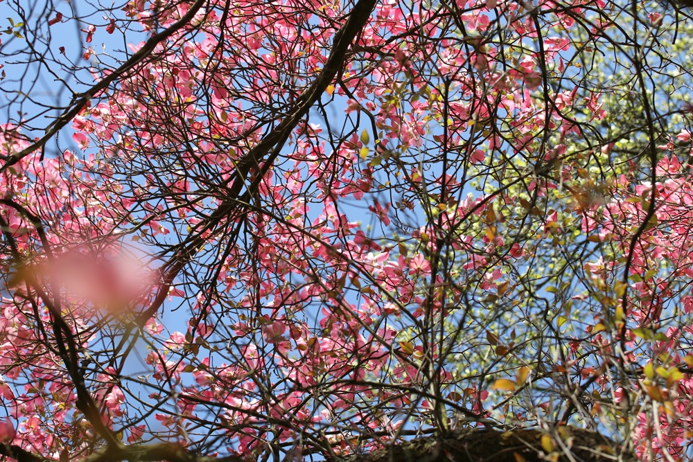Blütenhartriegel - Cornus Florida