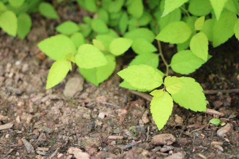 Blühende Bodendecker, pflegeleichte Arten für den Garten