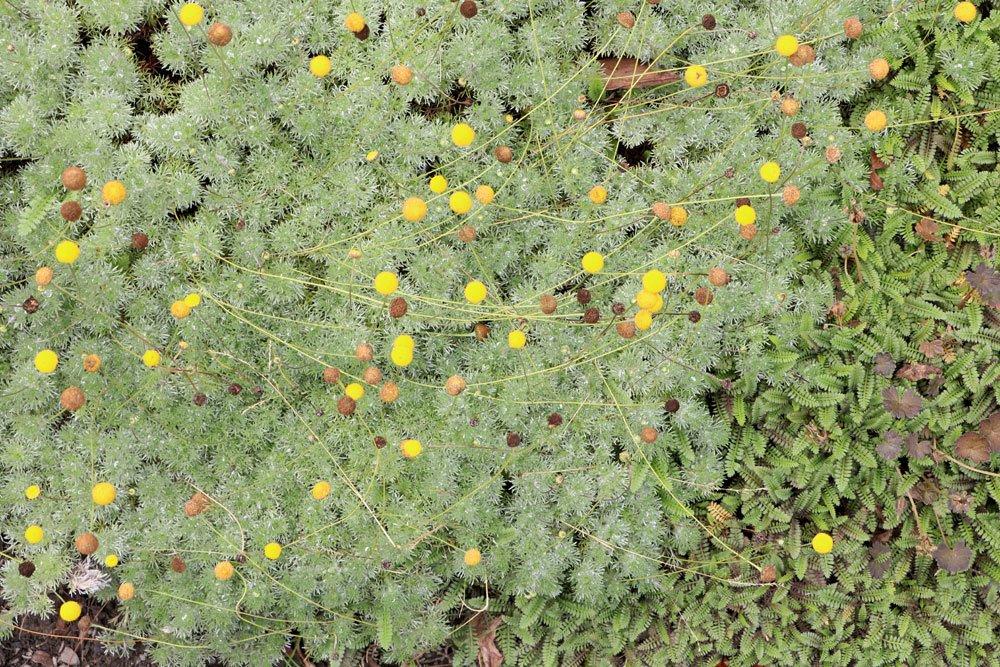 Bodendecker f r die sonne 60 sorten f r sonnige pl tzchen for Pflanzen fur pralle sonne