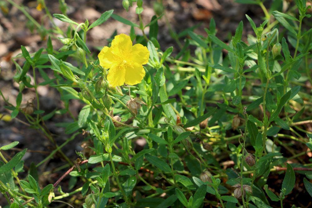 Gelbes Sonnenröschen, Helianthemum nummularium