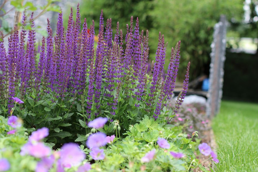 Hain-Salbei, Steppen-Salbei, Salvia nemorosa