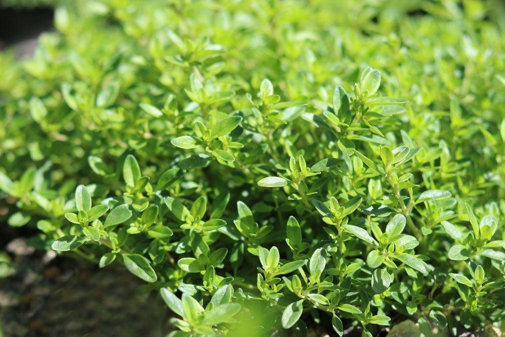 Zitronenthymian, Thymus citriodorus