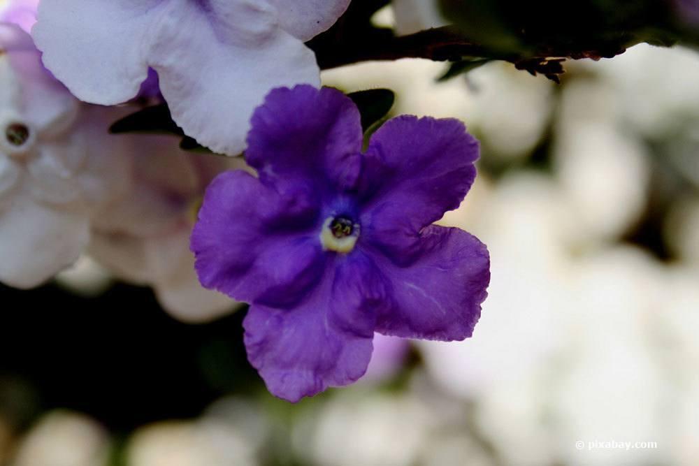 Brunfelsie, Brunfelsia uniflora