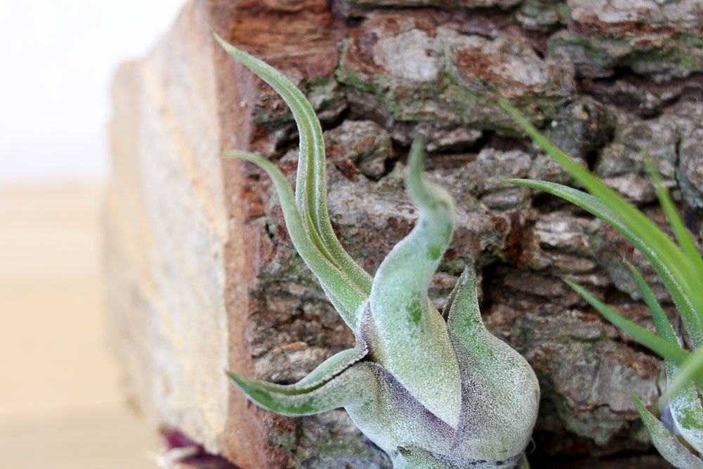 Tillandsia caput-medusae ist eine bizarre Pflanze