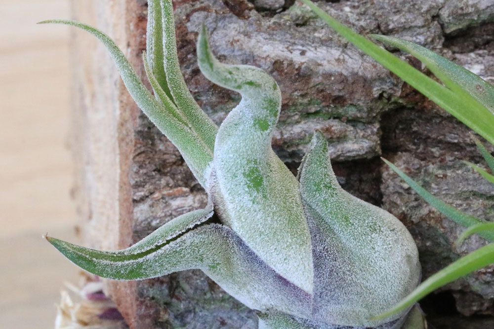 Tillandsia caput-medusae versprüht ein exotisches Flair