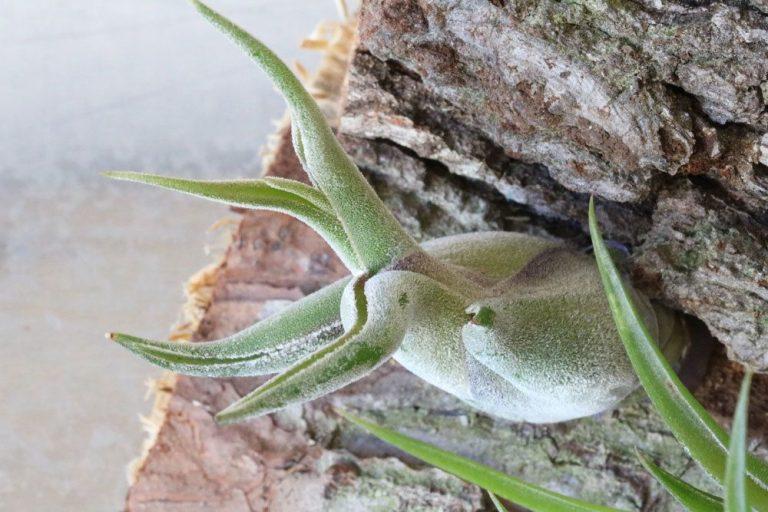 Tillandsia caput-medusae, Tillandsie richtig pflegen
