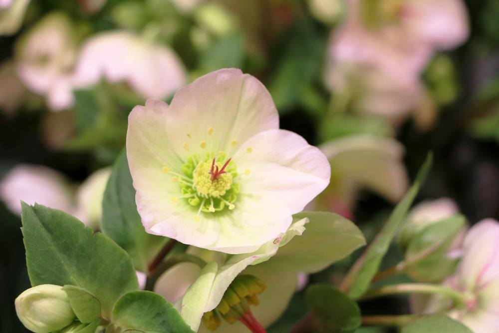 Christrose als Schattenpflanze