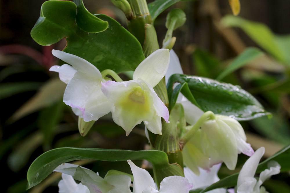 Dendrobium Nobile Pflege Schneiden Und Vermehren Der Orchidee