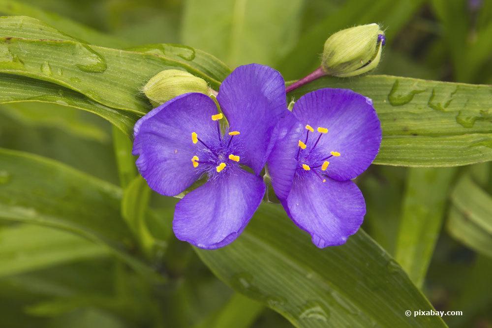 Dreimasterblume als Gartenpflanze