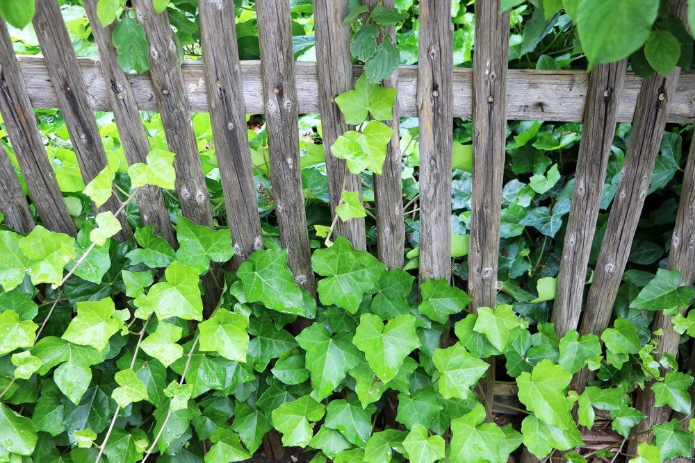 Efeu Als Zimmerpflanze zimmerefeu efeu als zimmerpflanze hedera helix pflege plantopedia de